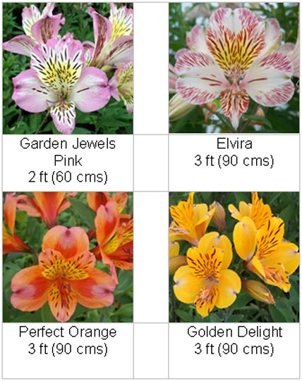 Viv Marsh Postal Plants - PERUVIAN LILY (ALSTROEMERIA COLLECTION)